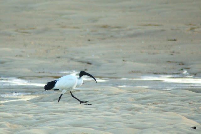 ibis sacré