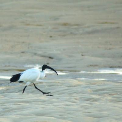 ibis sacré (Threskiornis aethiopicus)