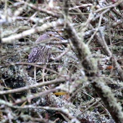 bihoreau gris (Nycticorax nycticorax)