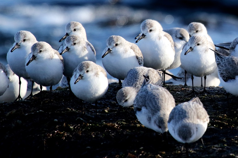 bécasseaux sanderlings