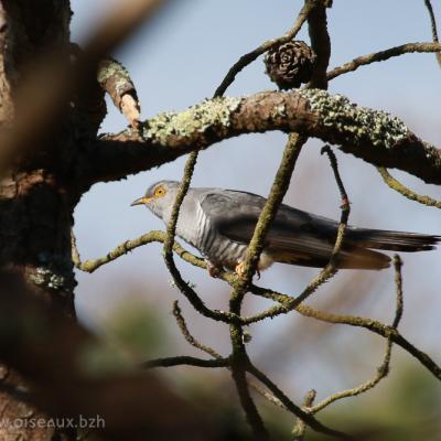 Coucou gris(Cumulus canorus)