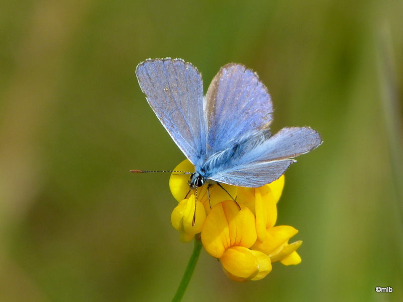 argus bleu ♂