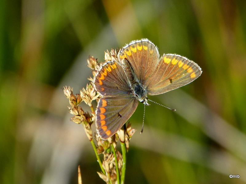 papillon acidalie sobre