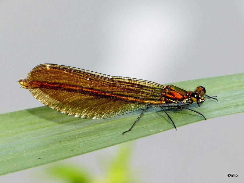 calopteryx sp 01