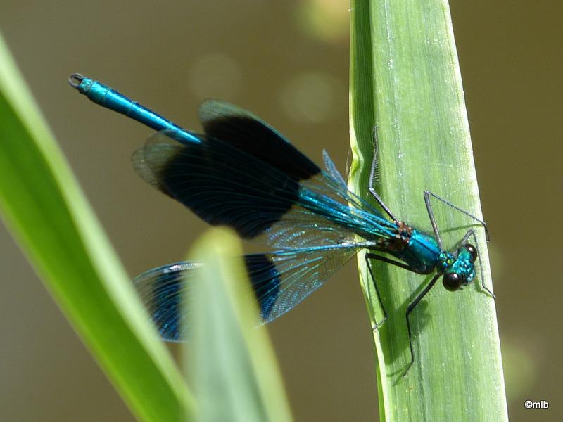 calopteryx éclatant