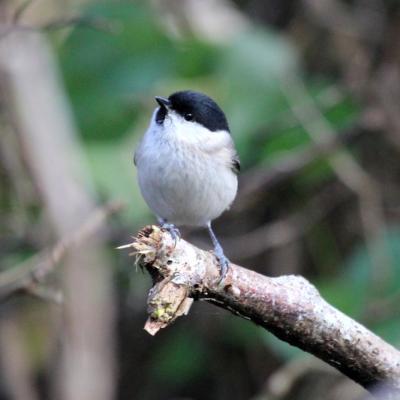 mésange nonette (Poecile palustris)