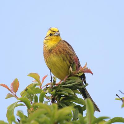 bruant jaune (Emberiza citrinella)