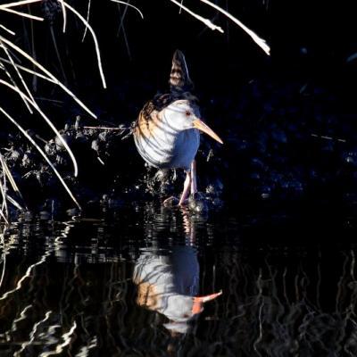 râle d'eau (Rallus aquaticus)
