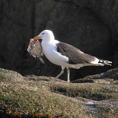 goéland marin (Larus marinus)