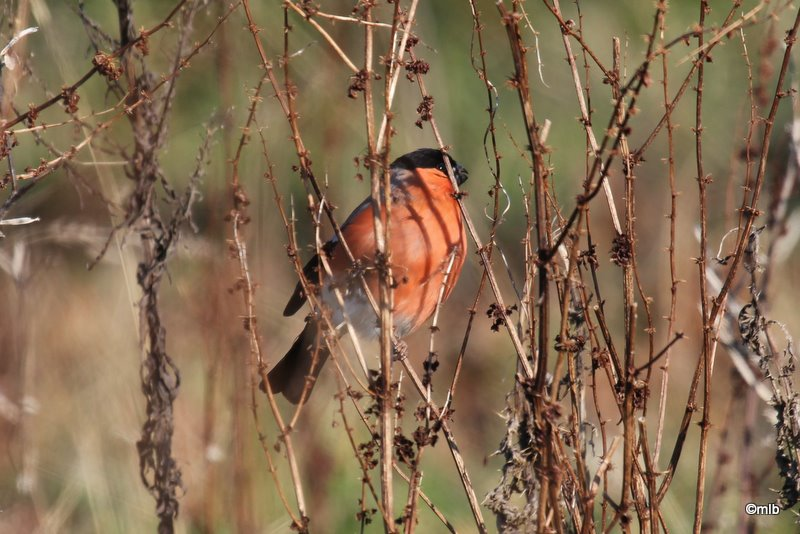 11/02/2012, mâle  en bordure du marais de Mousterlin.