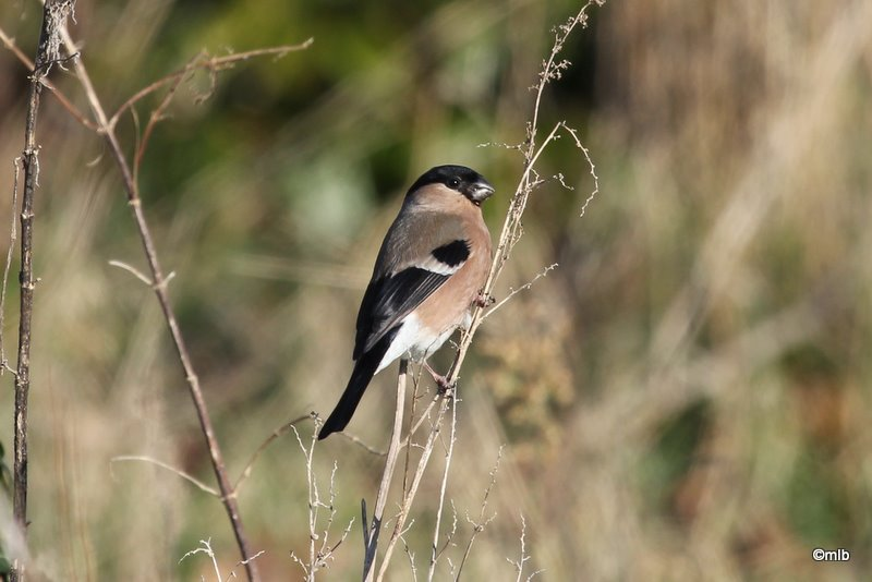 11/02/2012, femelle en bordure du marais de Mousterlin.
