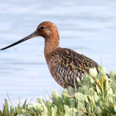 barge rousse (Limosa lapponica)