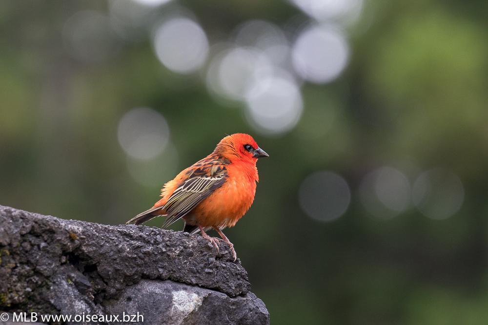 Foudi rouge (Foudia madagascariensis)