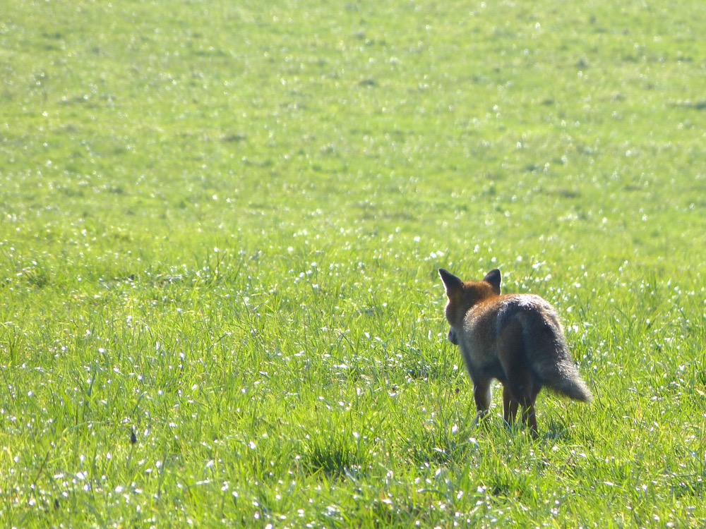 renard en chasse