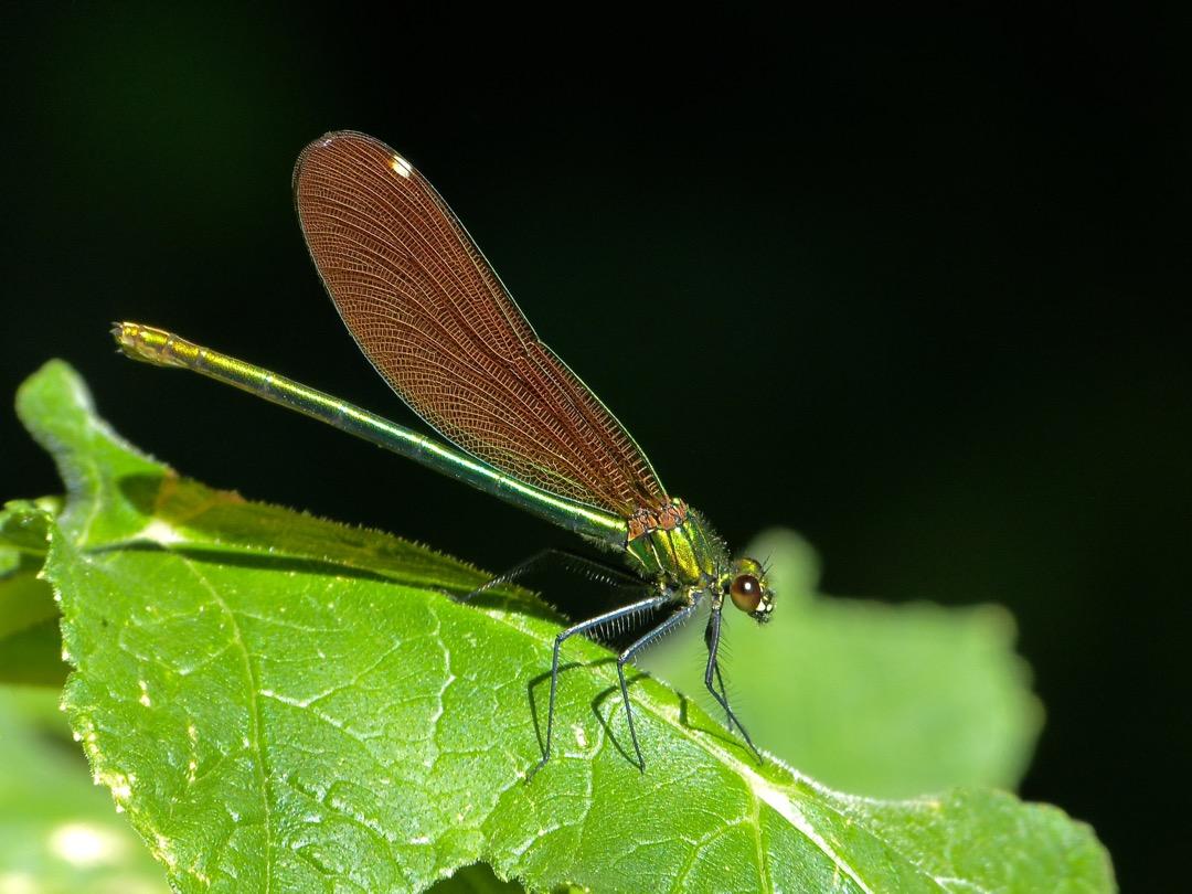 calopteryx sp