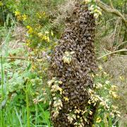 abeille, essaim