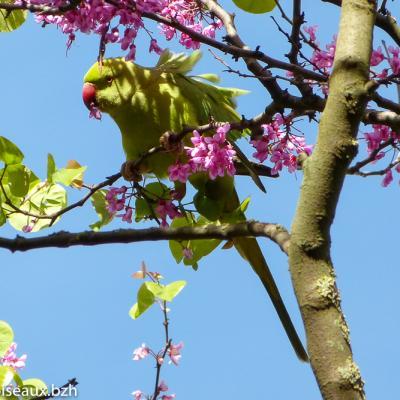 Perruche à collier(Psittacula krameri)
