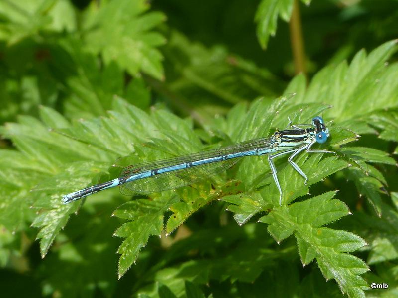 Pennipattes bleuâtre
